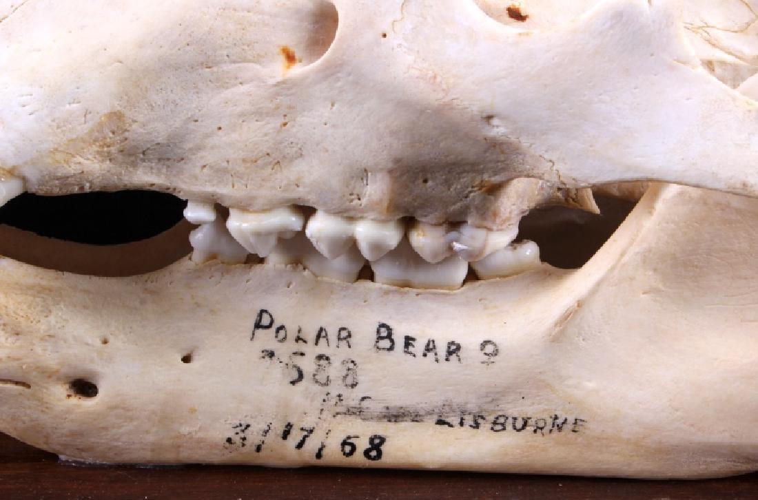 RARE Trophy Alaskan Polar Bear Skull - 8