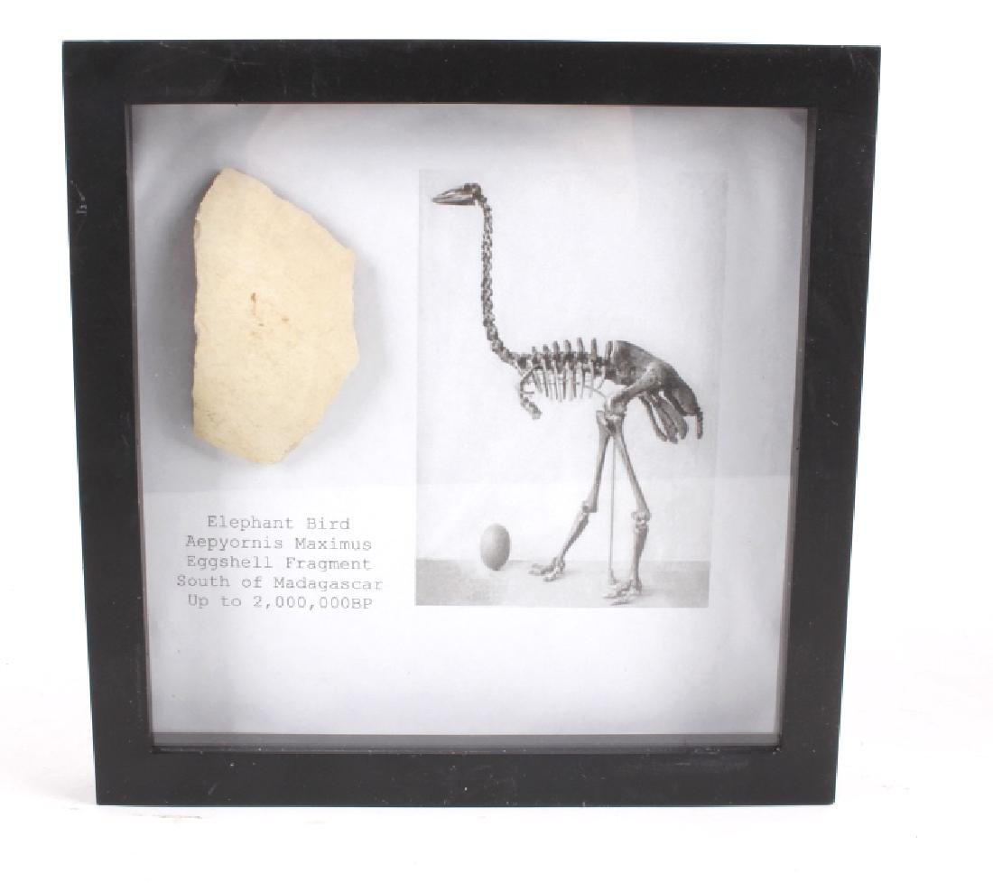 Elephant Bird Eggshell Ancient Fossil Madagascar - 2