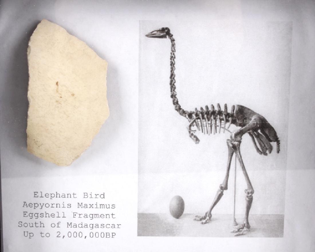 Elephant Bird Eggshell Ancient Fossil Madagascar - 3