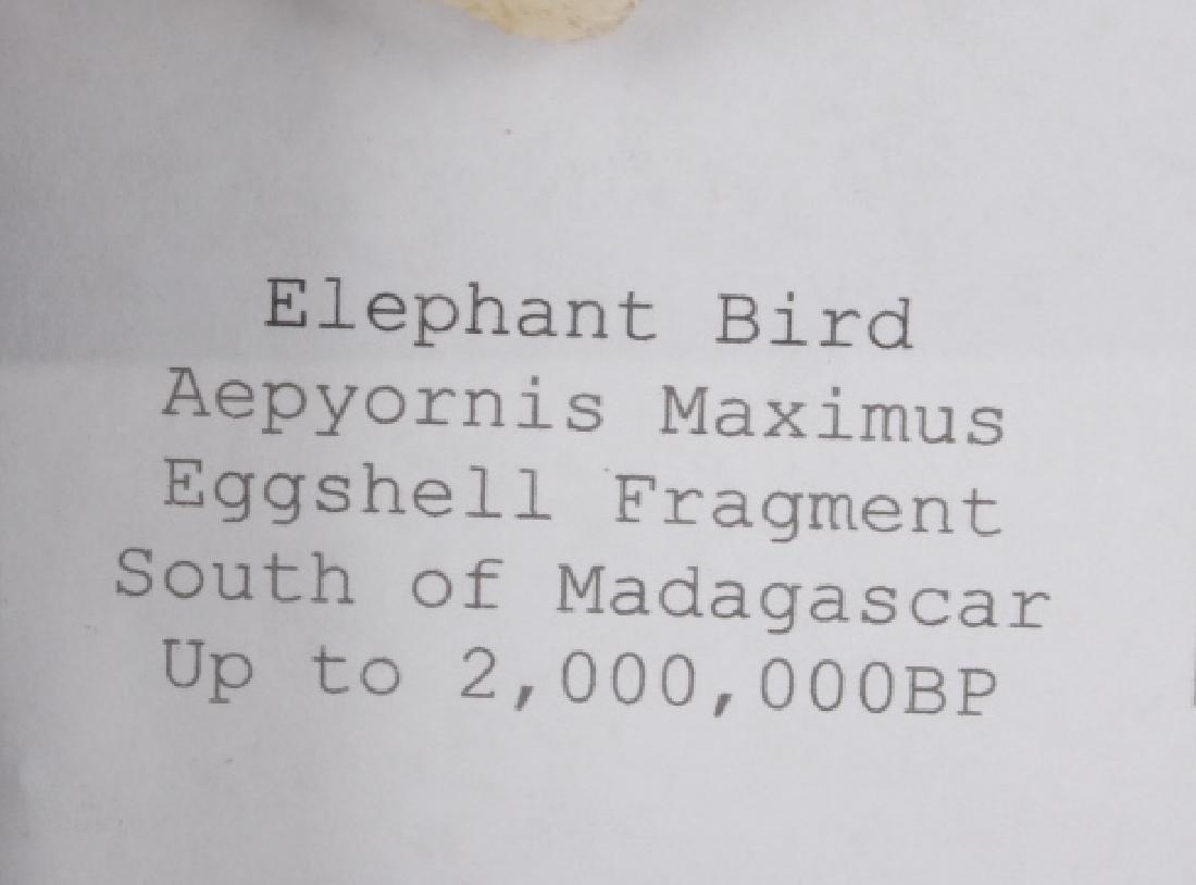 Elephant Bird Eggshell Ancient Fossil Madagascar - 5