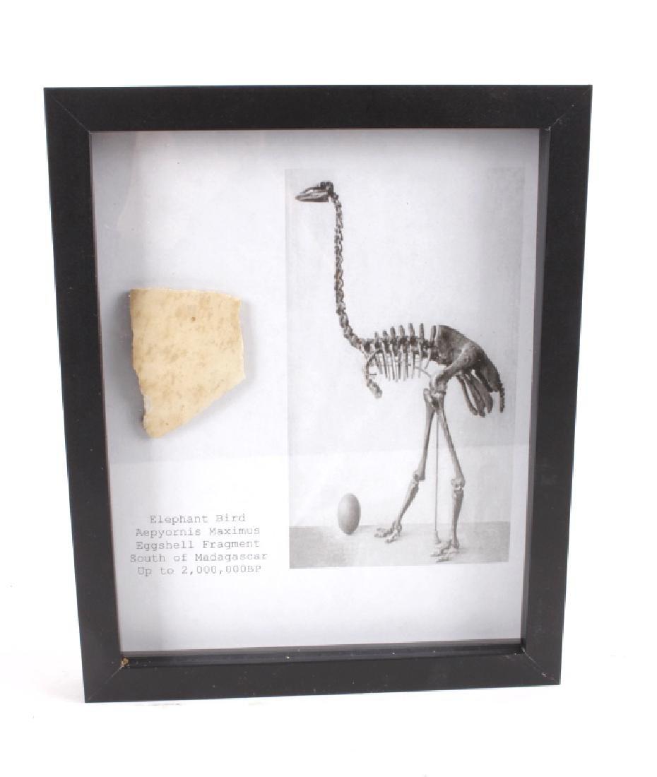 Elephant Bird Eggshell Ancient Fossil Madagascar - 6
