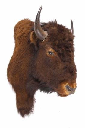 Wild Montana Buffalo Shoulder Mount