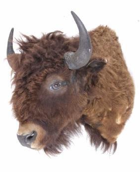 Wild Montana Buffalo Taxidermy Shoulder Mount
