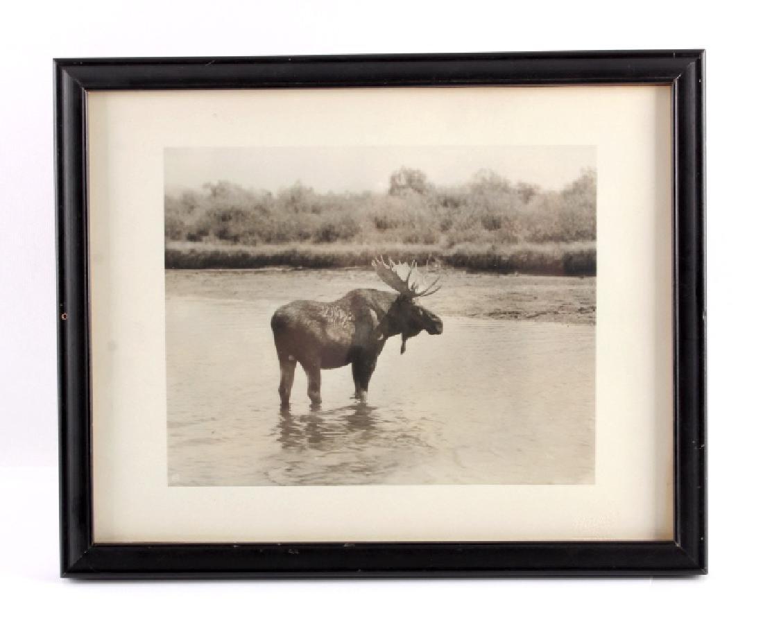 Original Haynes Moose Photograph Yellowstone Park