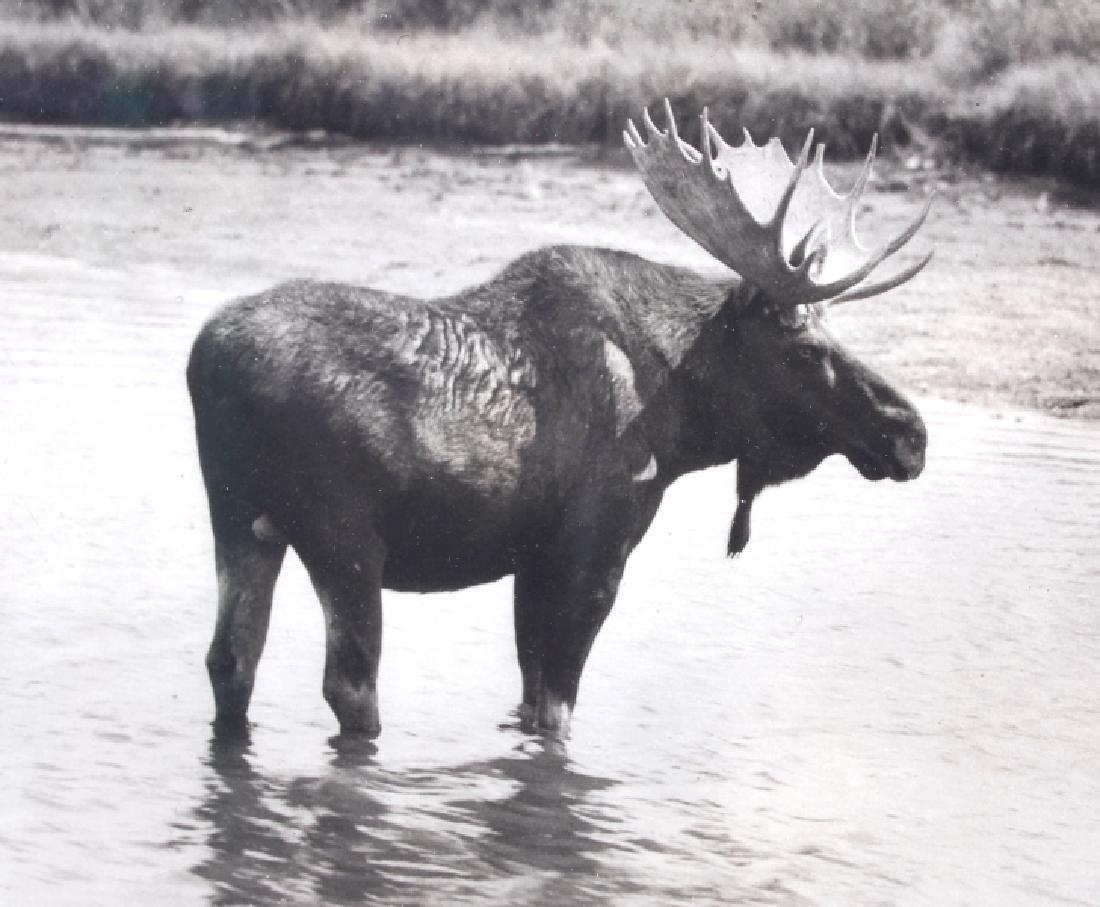 Original Haynes Moose Photograph Yellowstone Park - 6