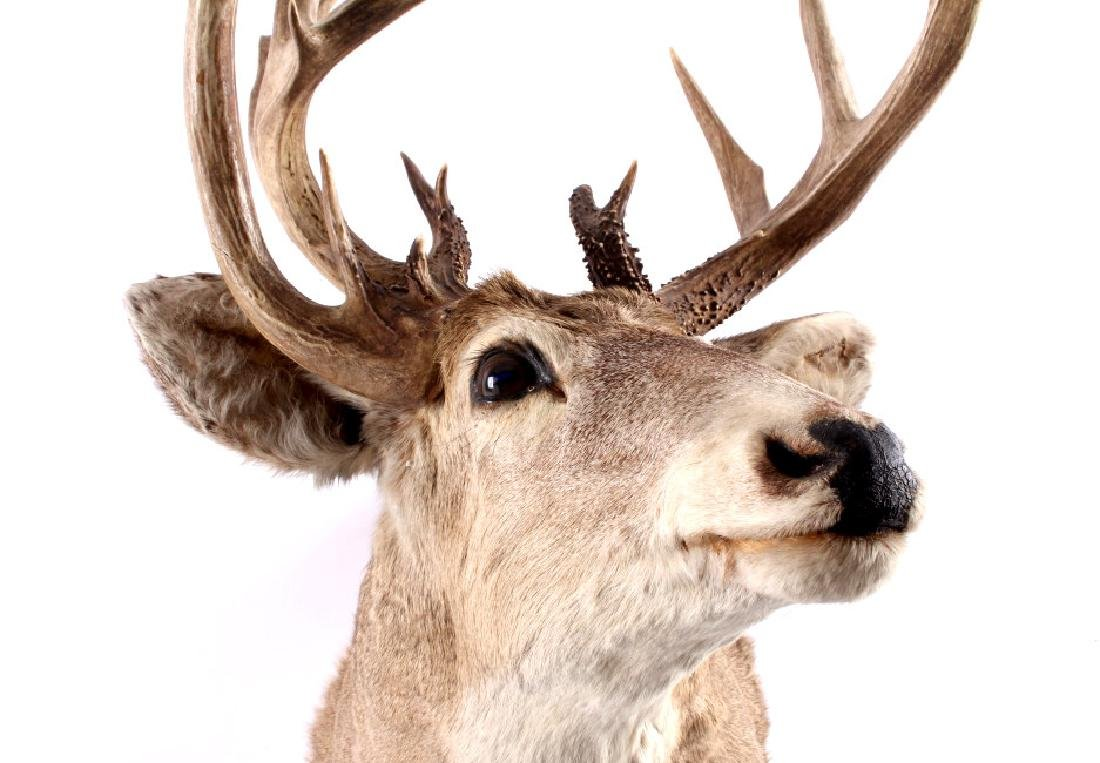 Montana Whitetail Deer Taxidermy Shoulder Mount - 10
