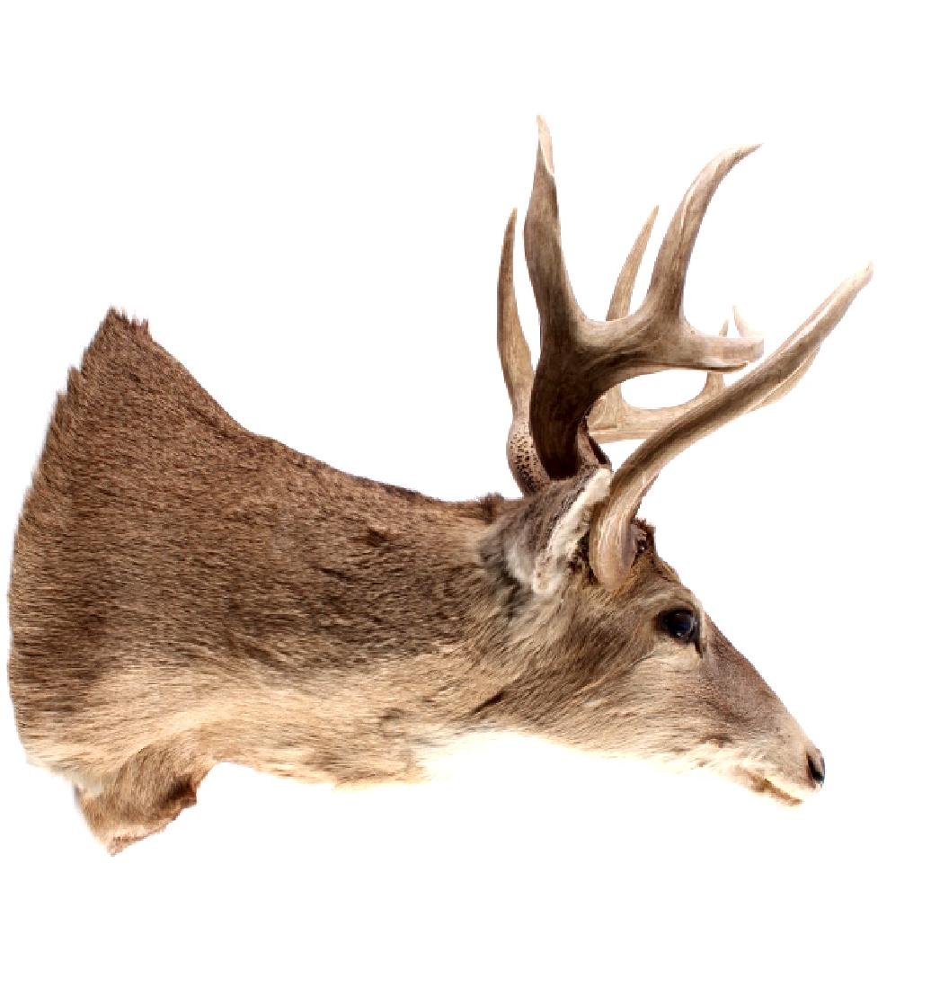 Montana Whitetail Deer Taxidermy Shoulder Mount - 2