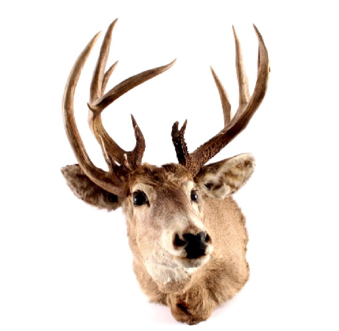 Montana Whitetail Deer Taxidermy Shoulder Mount - 3