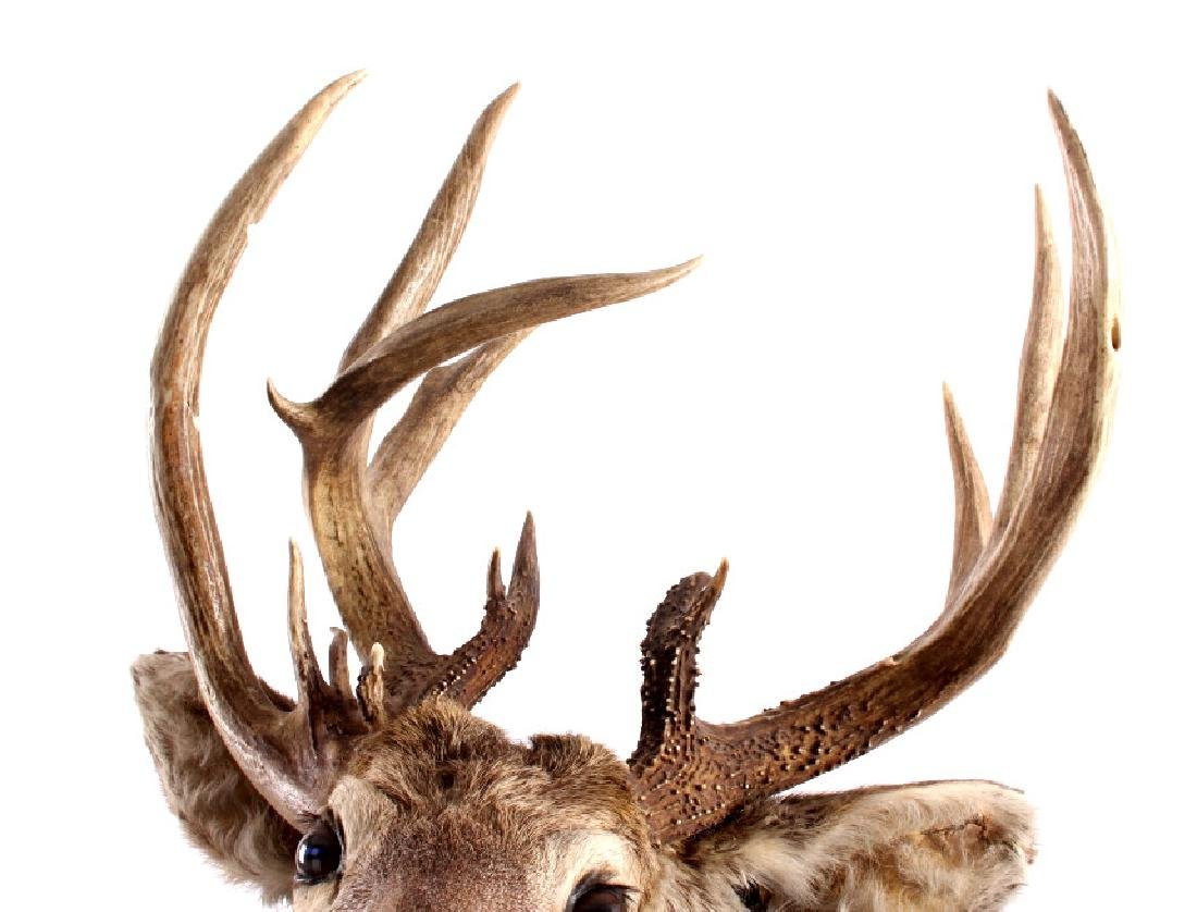 Montana Whitetail Deer Taxidermy Shoulder Mount - 4