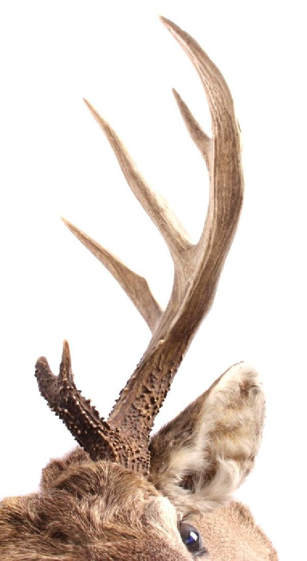 Montana Whitetail Deer Taxidermy Shoulder Mount - 6