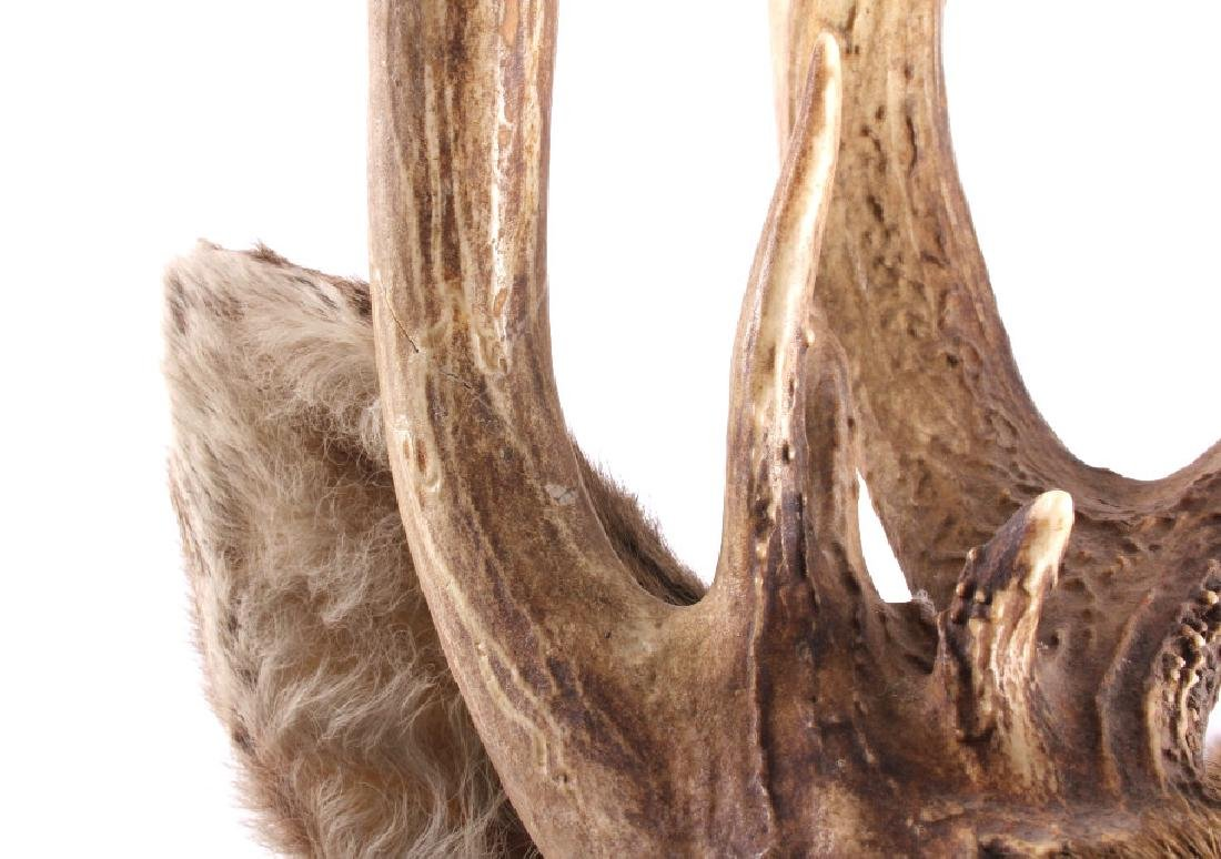 Montana Whitetail Deer Taxidermy Shoulder Mount - 9