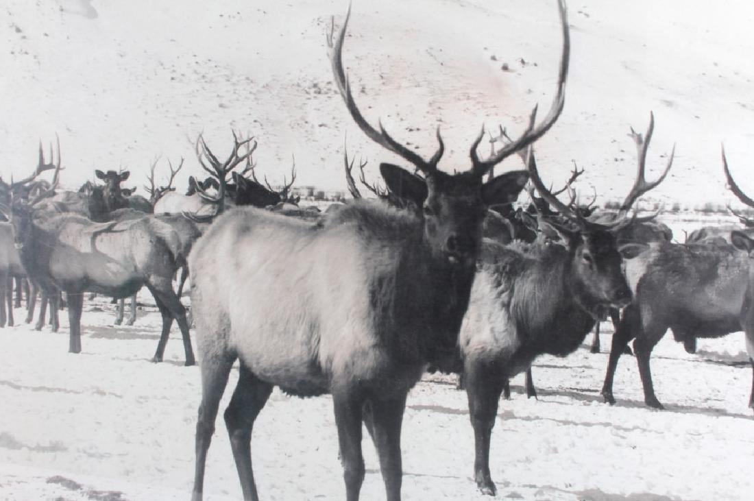 Original K.F. Roahen Yellowstone Elk Photograph - 2