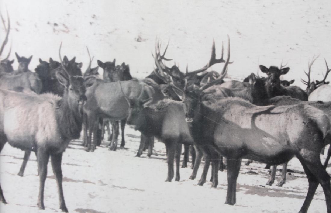 Original K.F. Roahen Yellowstone Elk Photograph - 3