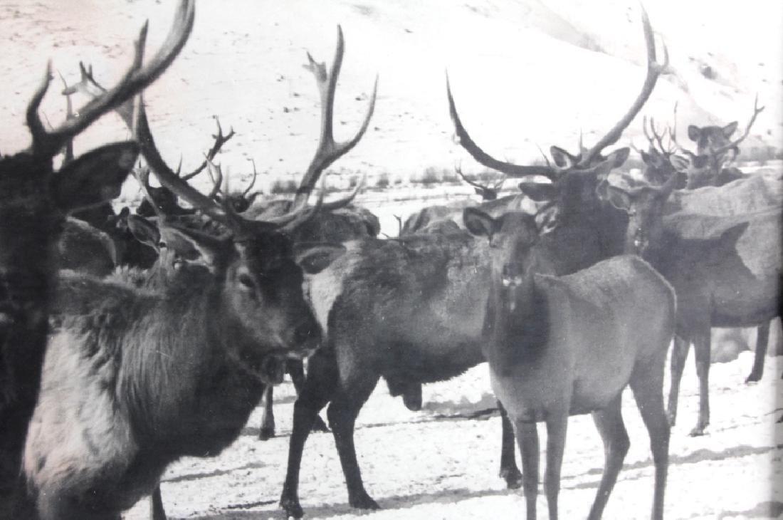 Original K.F. Roahen Yellowstone Elk Photograph - 4