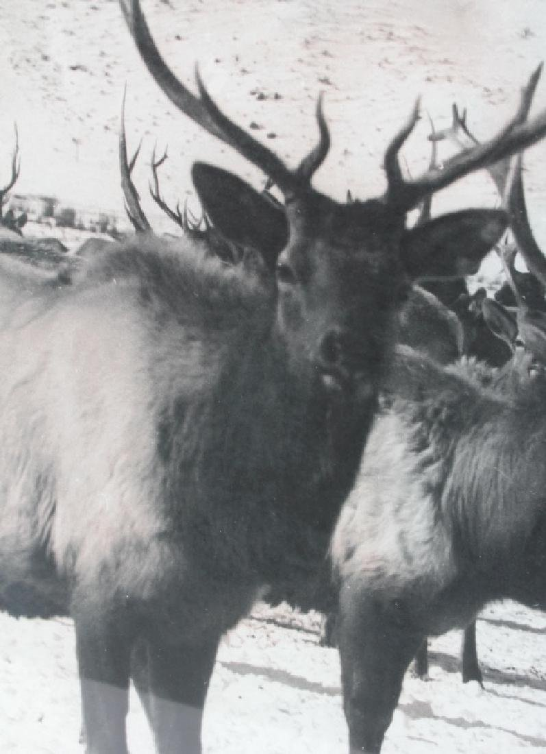 Original K.F. Roahen Yellowstone Elk Photograph - 5