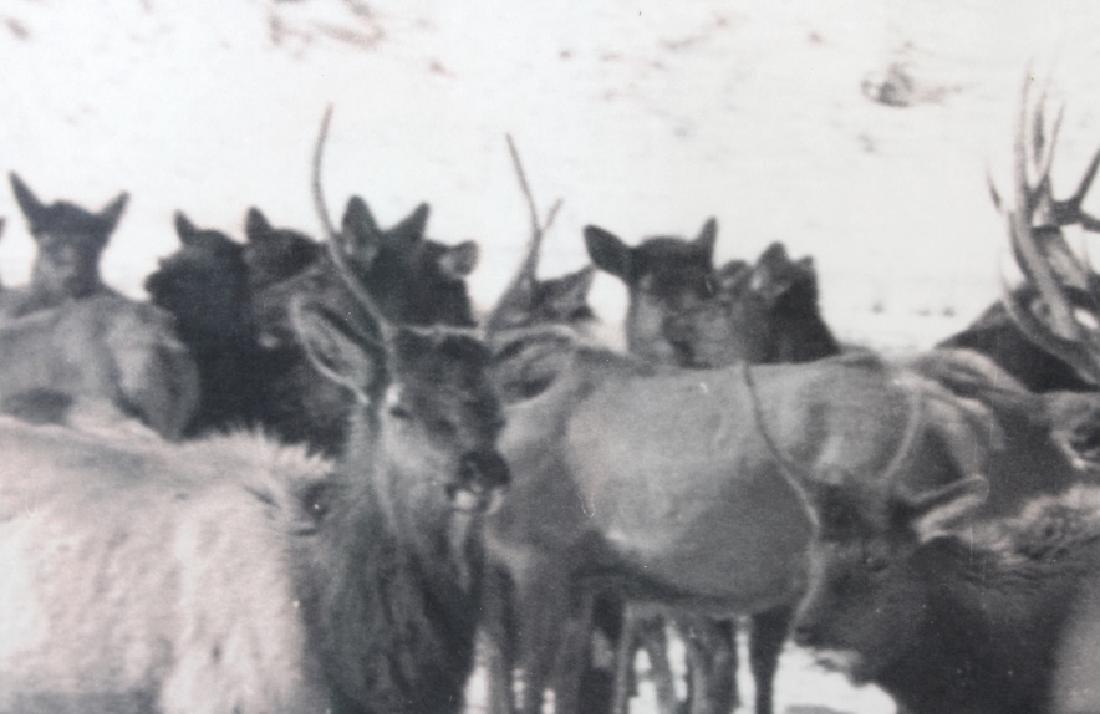 Original K.F. Roahen Yellowstone Elk Photograph - 6