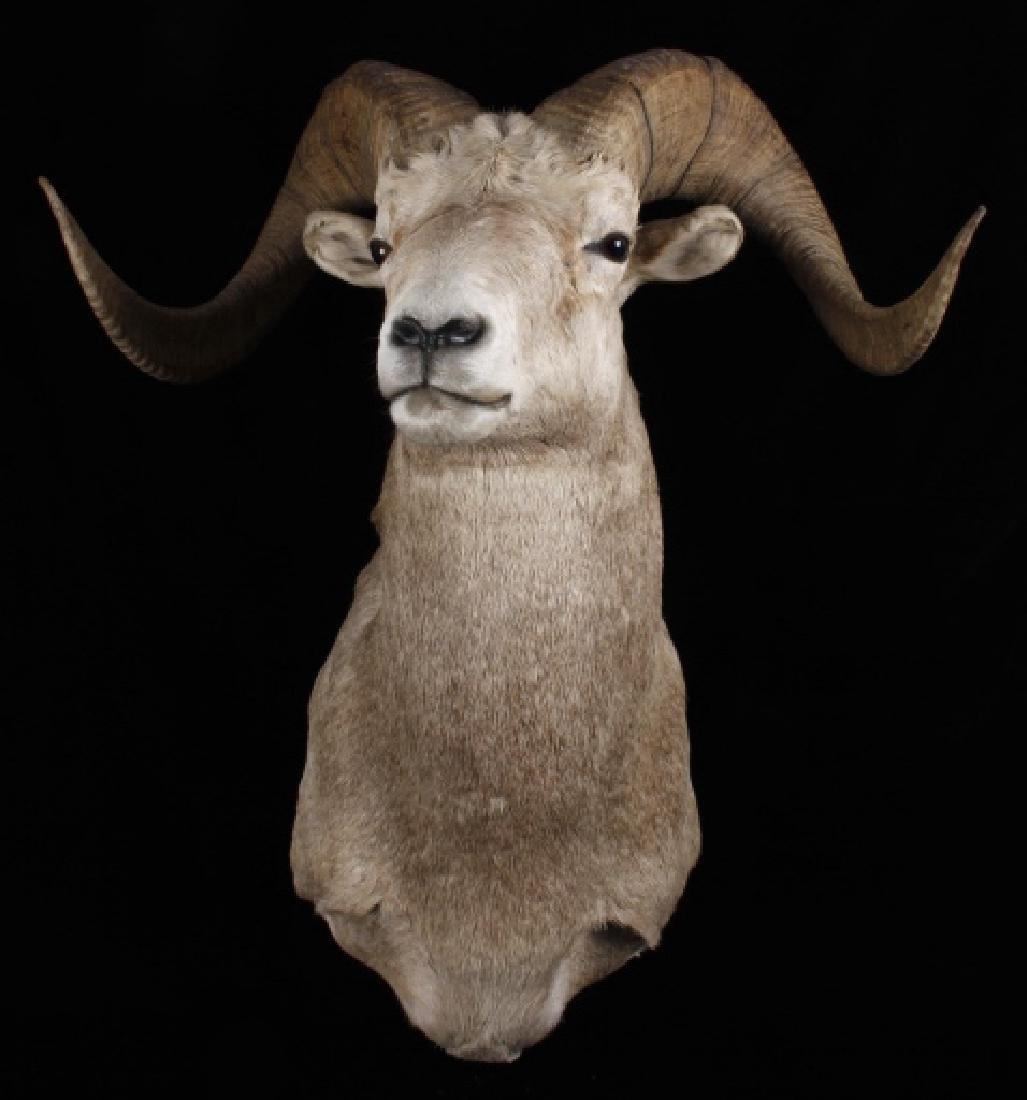 Montana Full Curl Bighorn Sheep Shoulder Mount