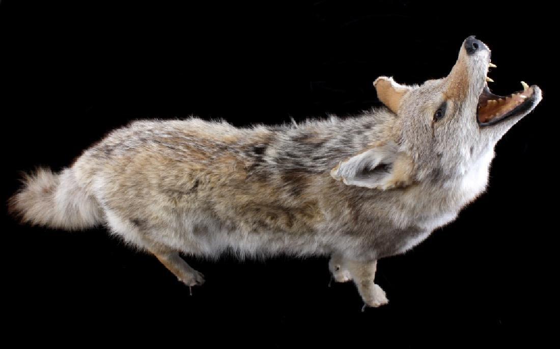 Howling Montana Coyote Full Mount