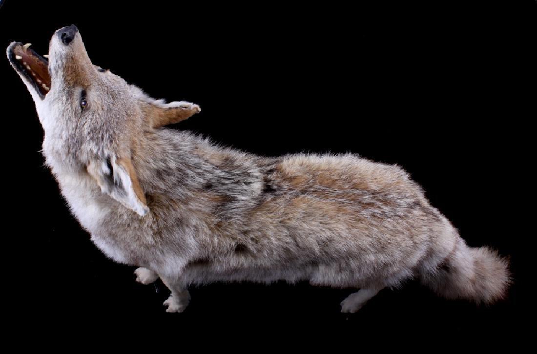 Howling Montana Coyote Full Mount - 2