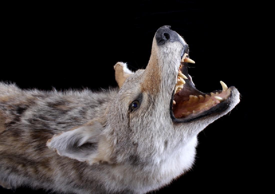 Howling Montana Coyote Full Mount - 3