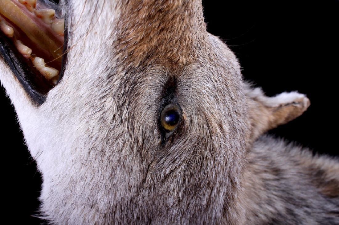Howling Montana Coyote Full Mount - 6