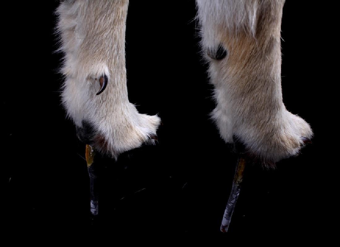Howling Montana Coyote Full Mount - 8