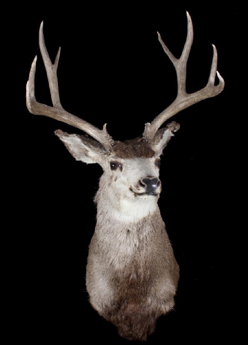 Montana Trophy 10-Point Buck Shoulder Mount