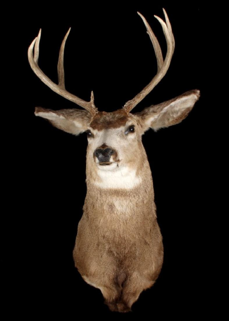 Montana Trophy 8-Point Buck Shoulder Mount