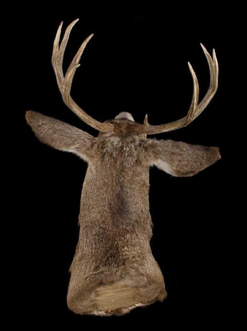 Montana Trophy 8-Point Buck Shoulder Mount - 2