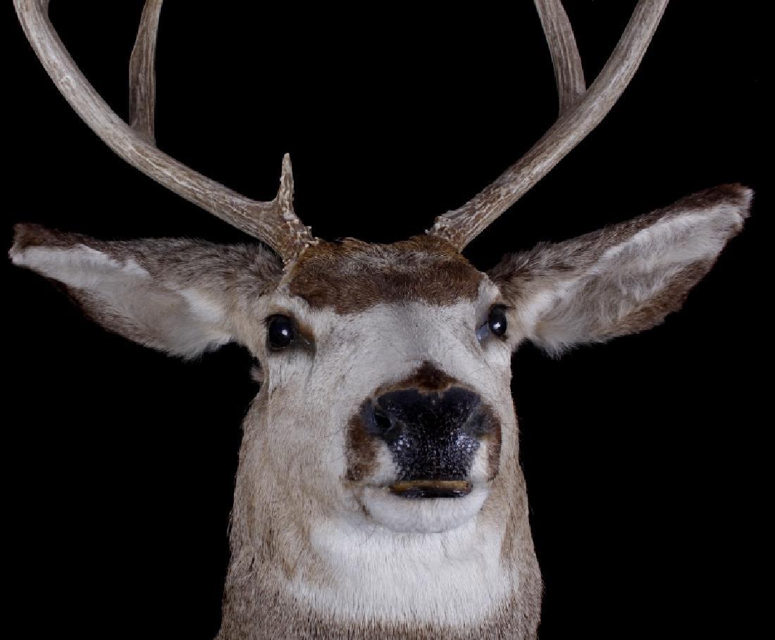 Montana Trophy 8-Point Buck Shoulder Mount - 3
