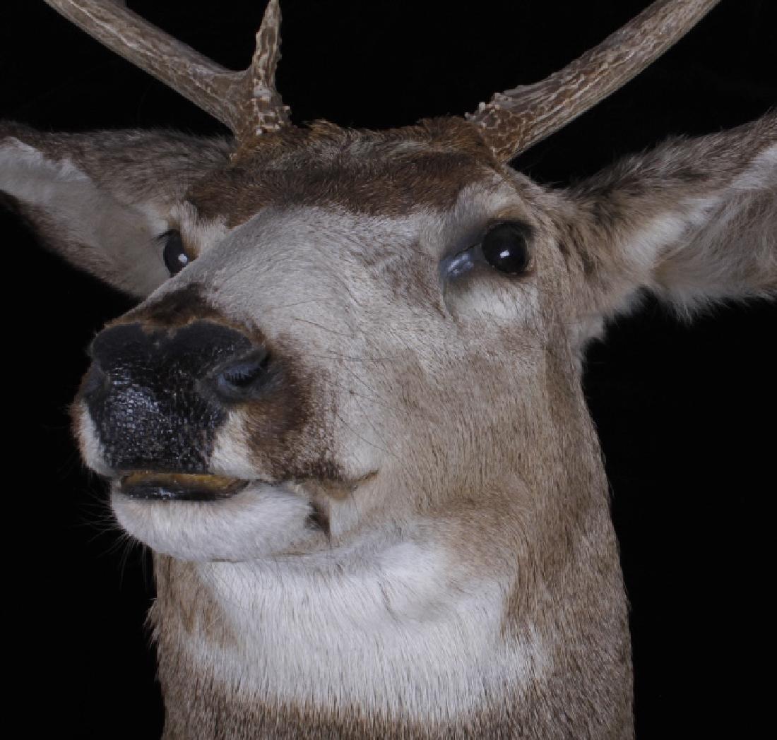 Montana Trophy 8-Point Buck Shoulder Mount - 5