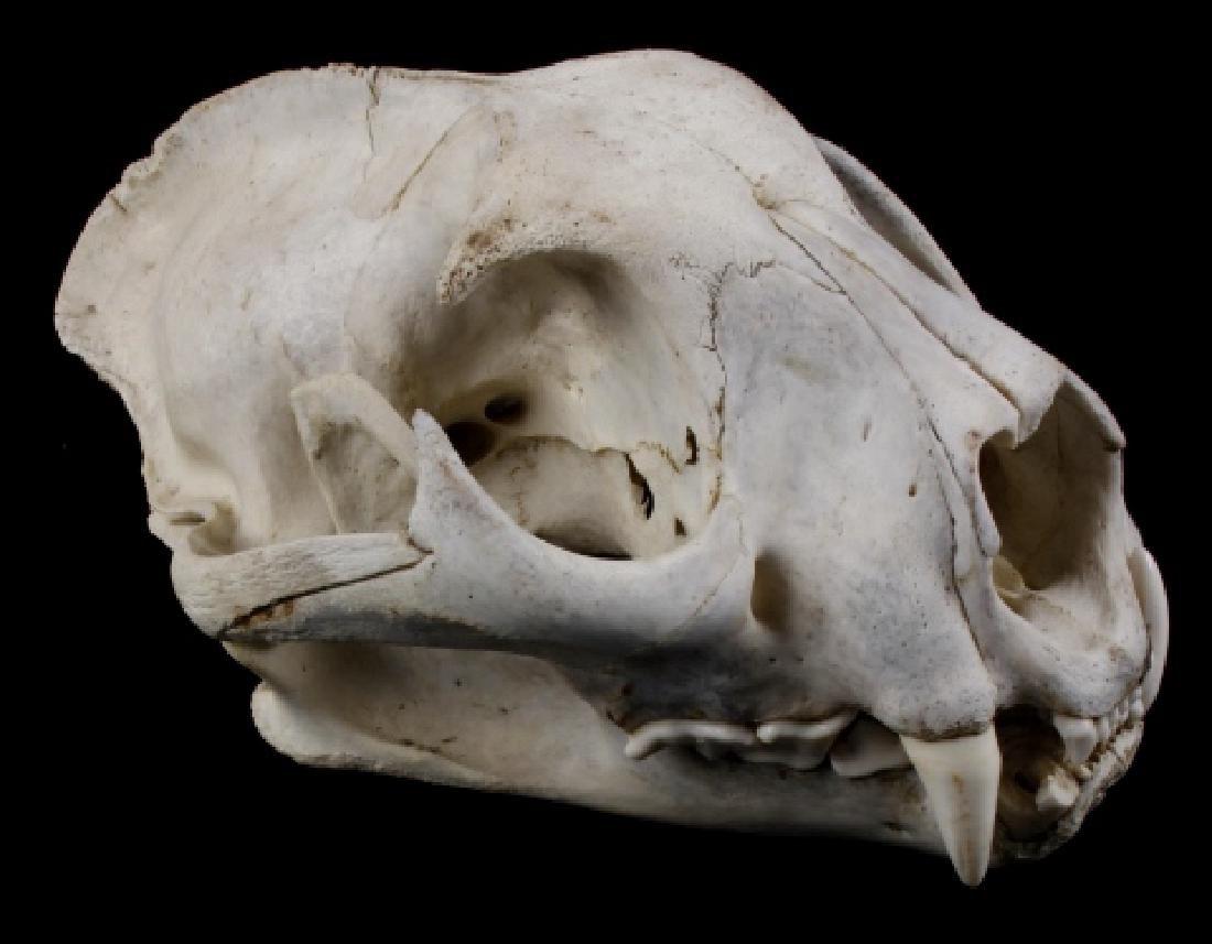 Montana Mountain Lion Taxidermy Skull