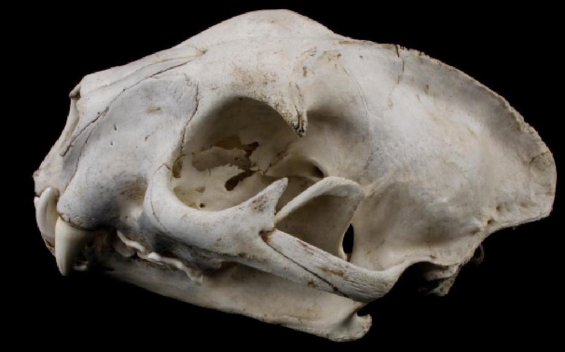 Montana Mountain Lion Taxidermy Skull - 3
