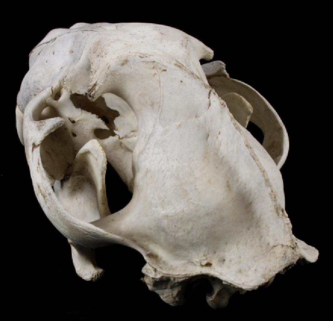 Montana Mountain Lion Taxidermy Skull - 4