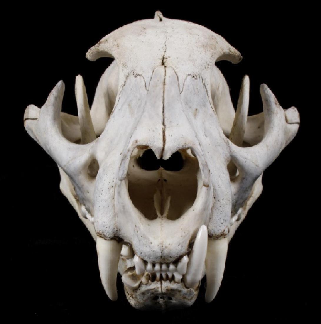 Montana Mountain Lion Taxidermy Skull - 5