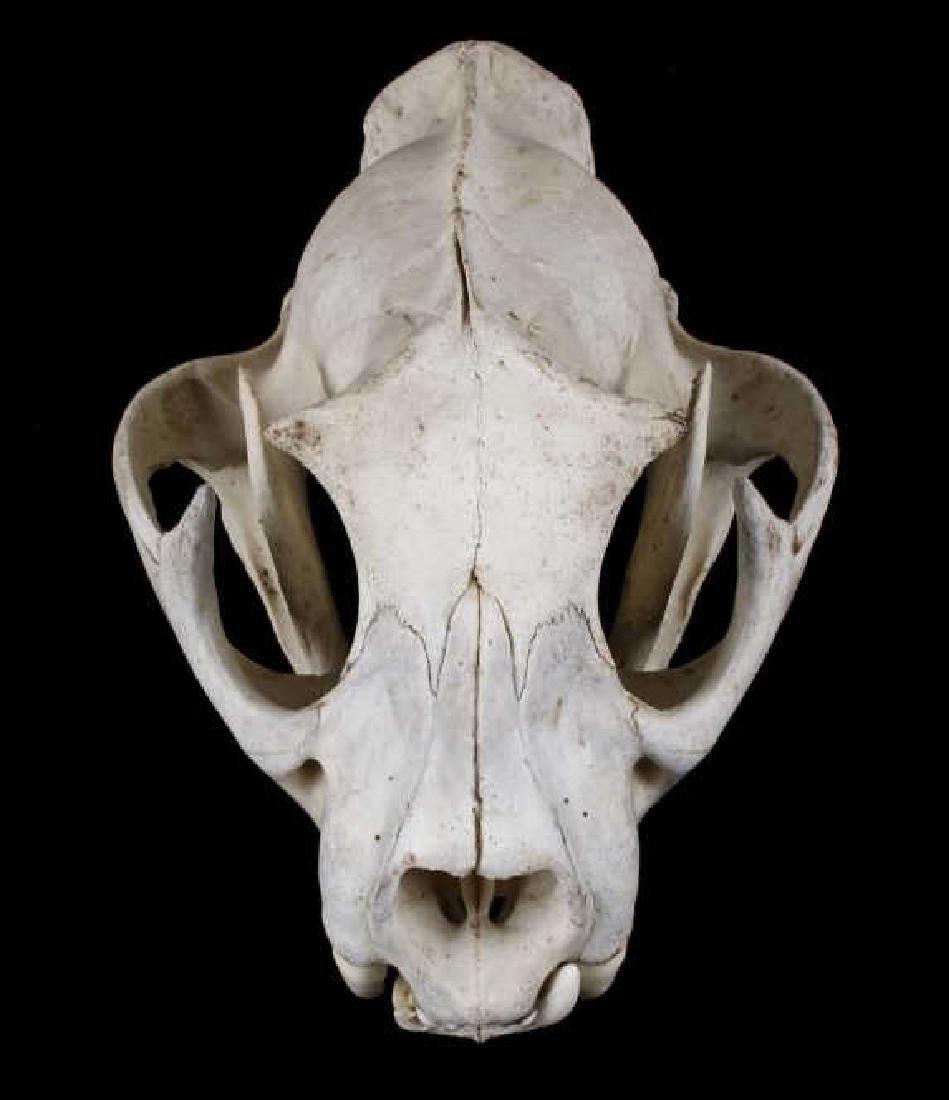 Montana Mountain Lion Taxidermy Skull - 6