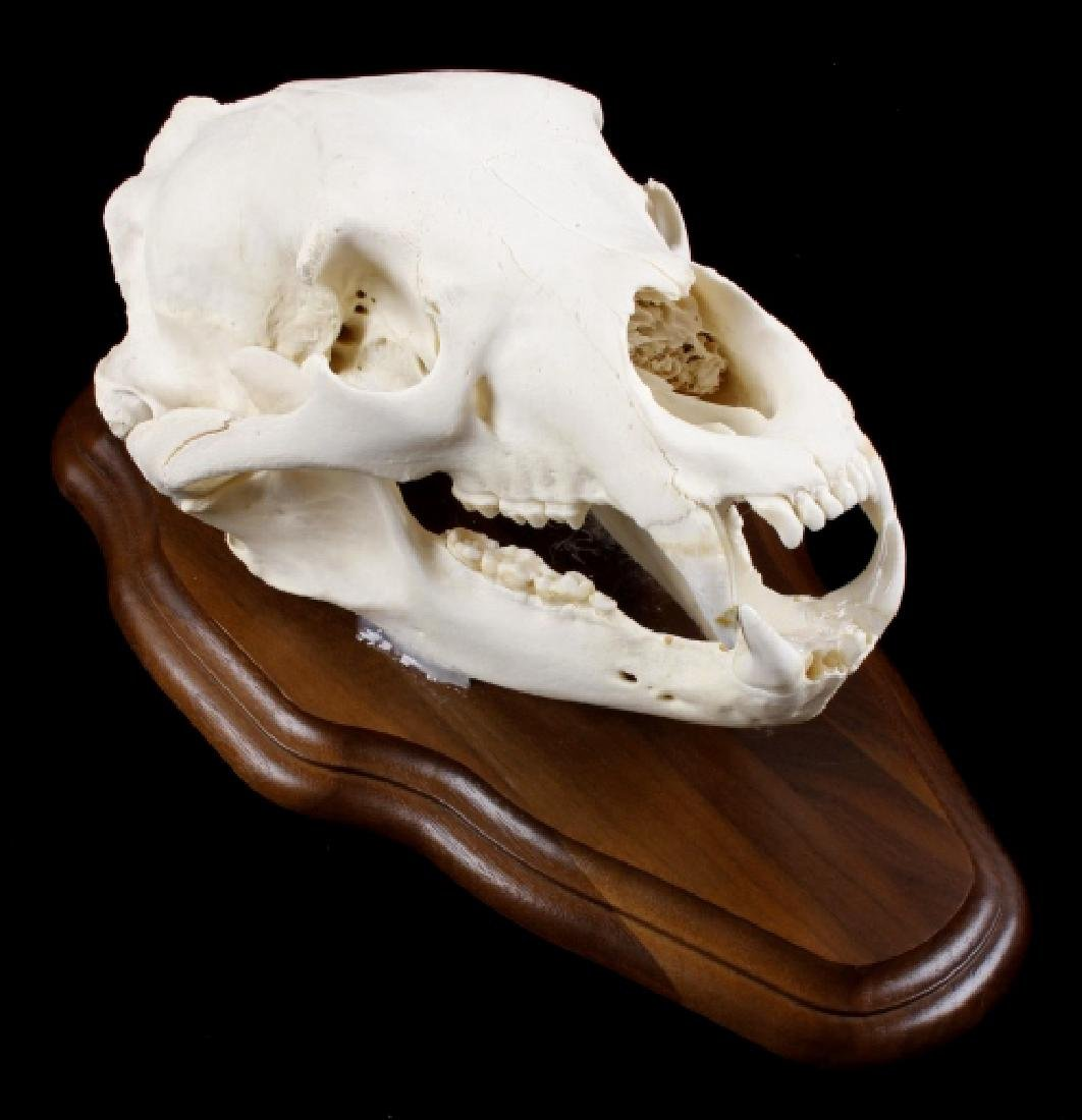 Large Montana Black Bear Trophy Taxidermy Skull
