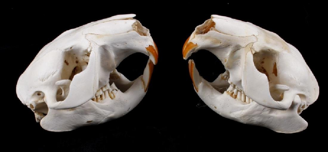 Two Montana Taxidermy Beaver Skulls - 2