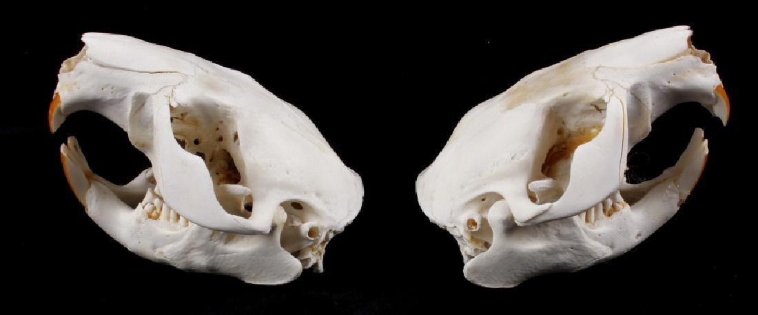 Two Montana Taxidermy Beaver Skulls - 3