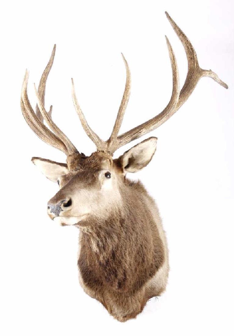Montana Rocky Mountain Trophy Elk Shoulder Mount