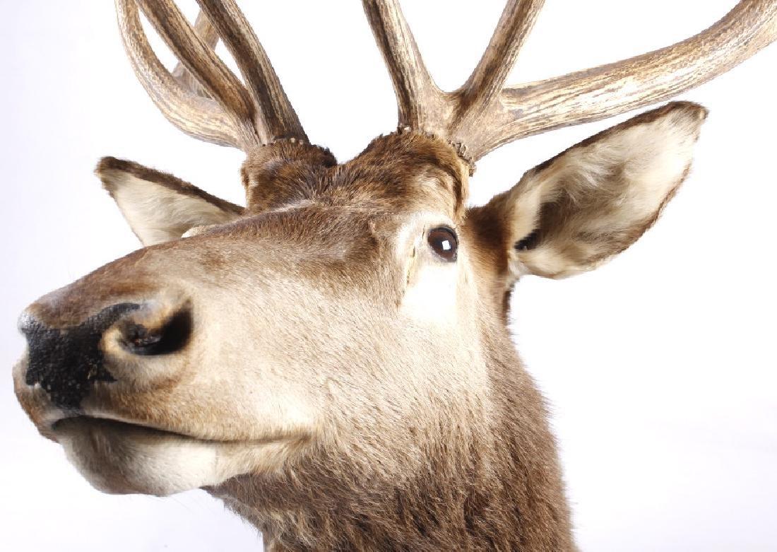 Montana Rocky Mountain Trophy Elk Shoulder Mount - 2