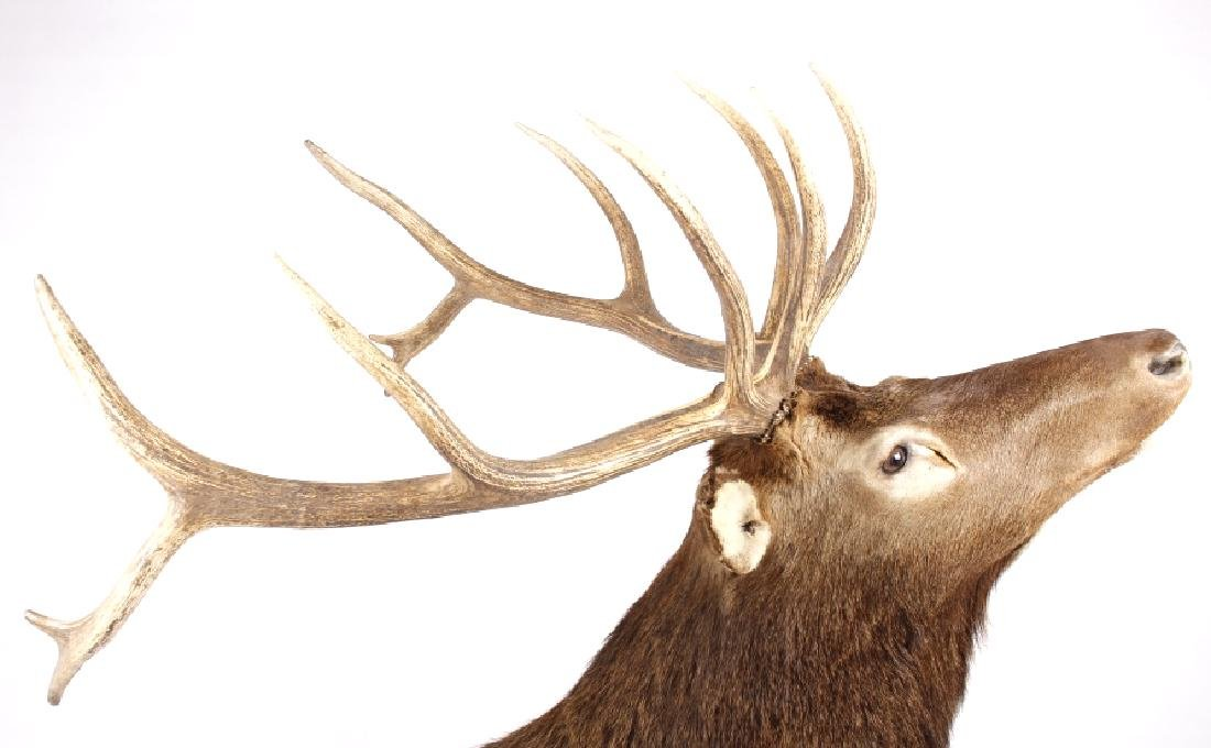 Montana Rocky Mountain Trophy Elk Shoulder Mount - 5