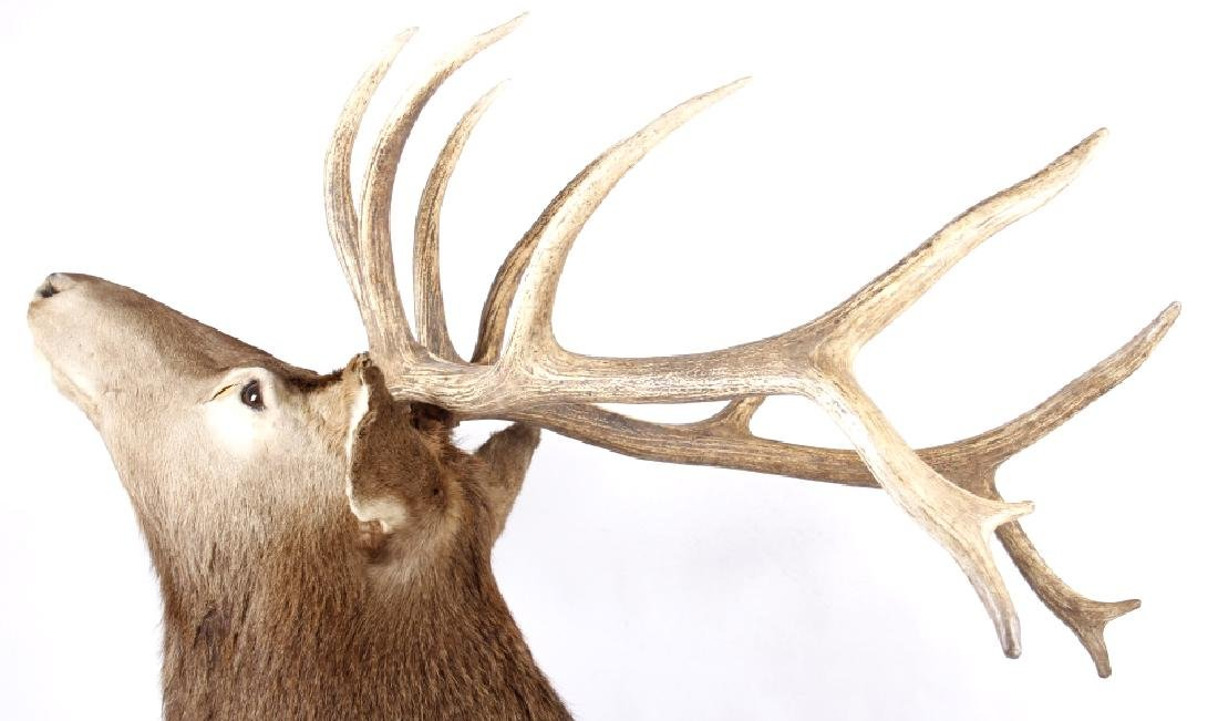 Montana Rocky Mountain Trophy Elk Shoulder Mount - 7