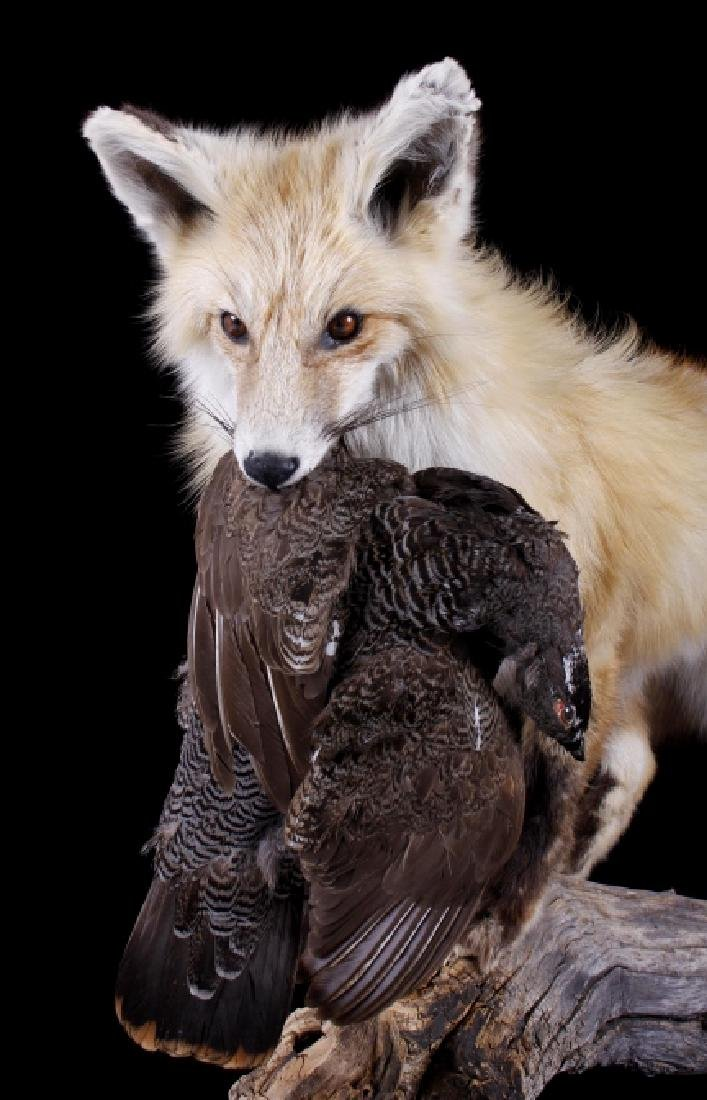 Montana Grey Fox And Pheasant Mount - 2
