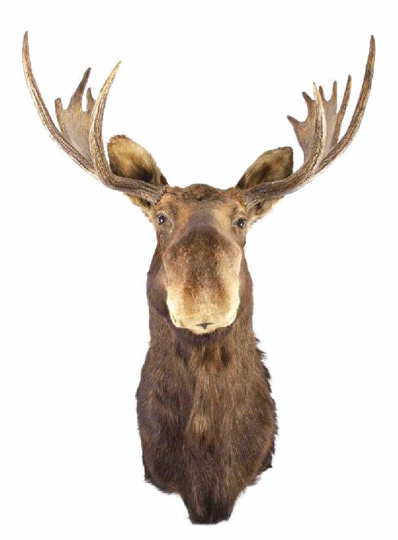 Montana Trophy Moose Taxidermy Shoulder Mount