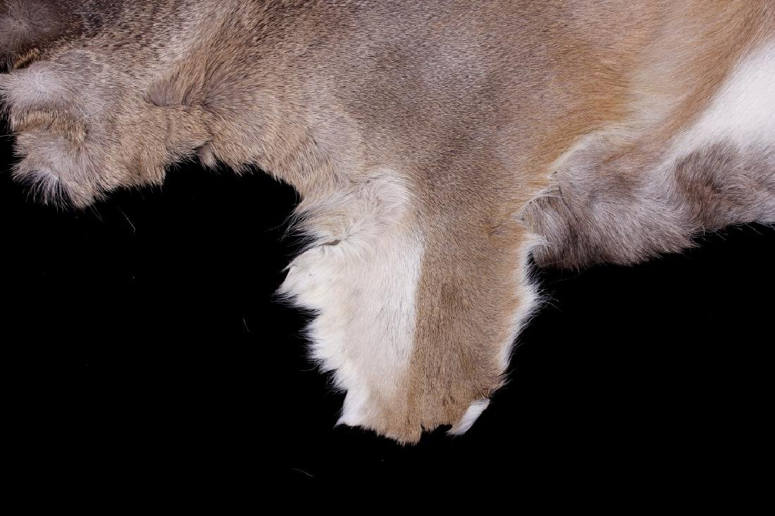 Montana Whitetail Deer Tanned Hide - 5