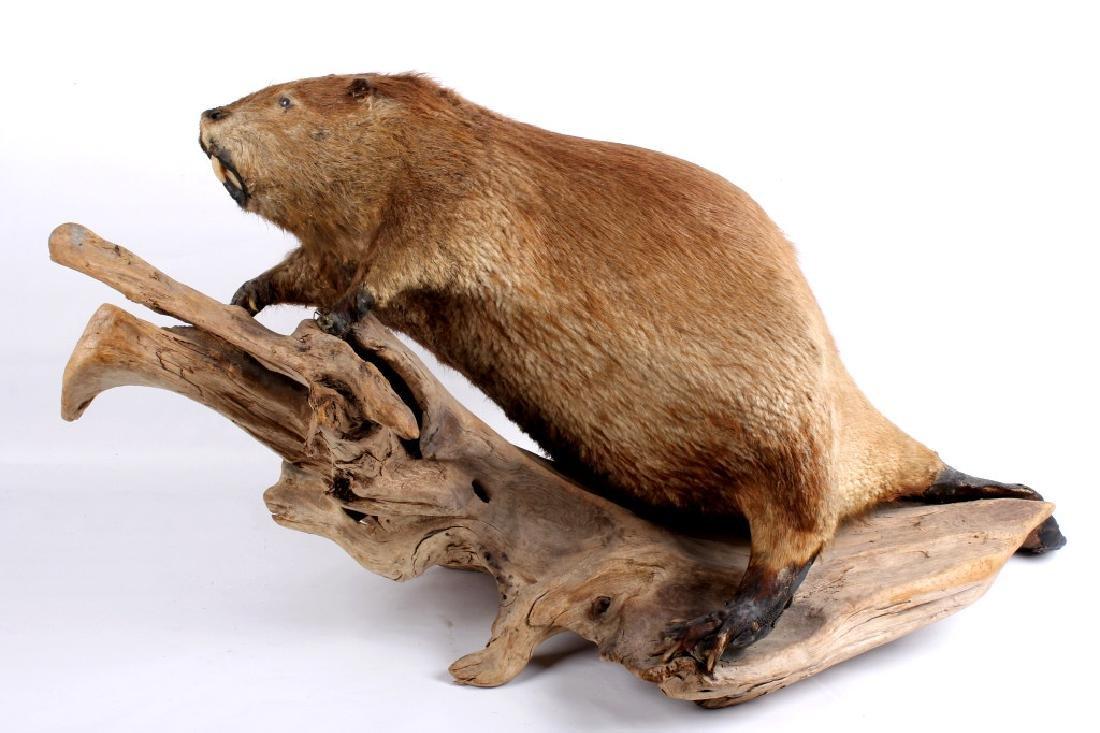Full Body Beaver Taxidermy Mount - 12