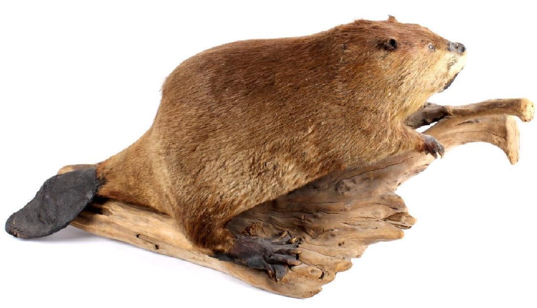 Full Body Beaver Taxidermy Mount