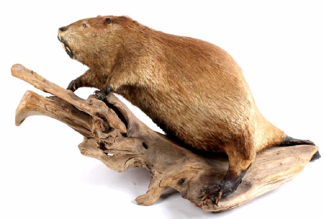 Full Body Beaver Taxidermy Mount - 2