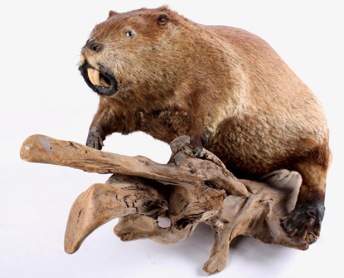Full Body Beaver Taxidermy Mount - 3